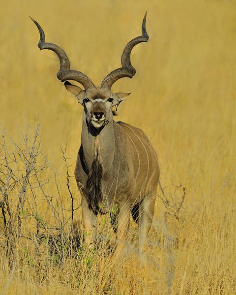 Photograph - Kudu by Tony Beck