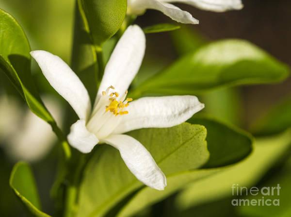 Photograph - Kumquat Flower by Steven Ralser