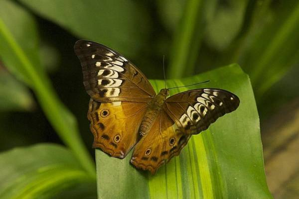 Photograph - Kuranda Butterfly by Stuart Litoff