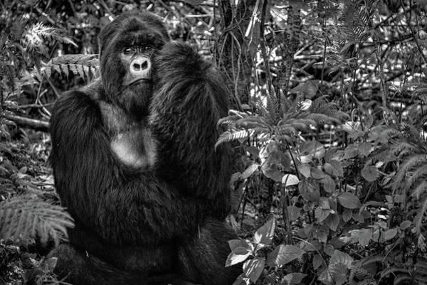 Primate Photograph - Kwitonda Silverback by Karen Lunney