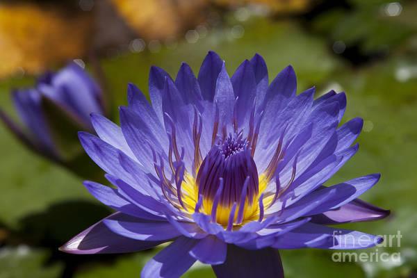 Photograph - La Fleur De Lotus - Star Of Zanzibar Tropical Water Lily by Sharon Mau