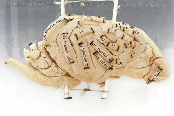 Olfactory Bulb Photograph - Labelled Dog's Brain by Ucl, Grant Museum Of Zoology
