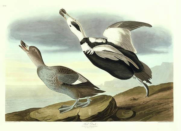 Wall Art - Photograph - Labrador Duck by Natural History Museum, London/science Photo Library