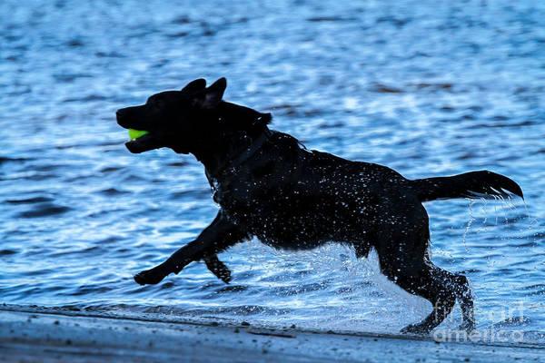 Photograph - Labrador On The Run by Eleanor Abramson