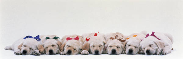 Wall Art - Photograph - Labrador Puppies Wearing Bows, Sleeping by Animal Images