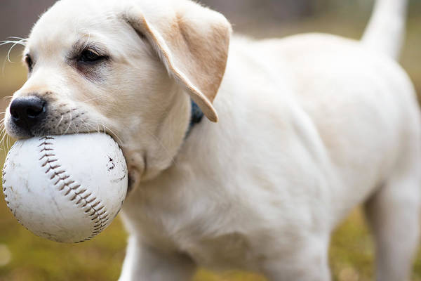 Fetch Photograph - Labrador Puppy Fetching Ball by Cate Brown