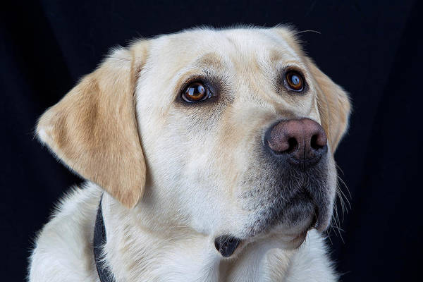 Service Dog Photograph - Dog - Labrador Retriever by John Wayland