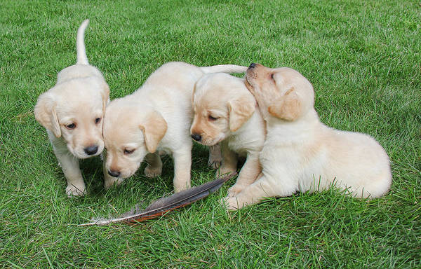 Wall Art - Photograph - Labrador Retriever Puppies And Feather by Jennie Marie Schell