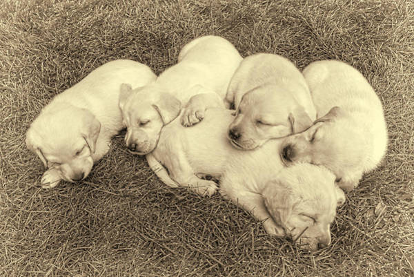 Wall Art - Photograph - Labrador Retriever Puppies Nap Time Vintage by Jennie Marie Schell