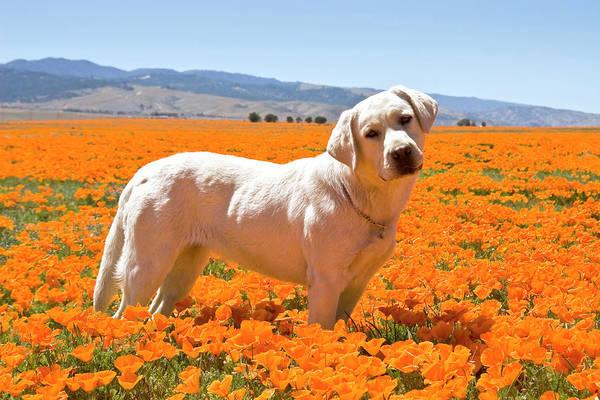 Trial Wall Art - Photograph - Labrador Retriever Standing In A Field by Zandria Muench Beraldo