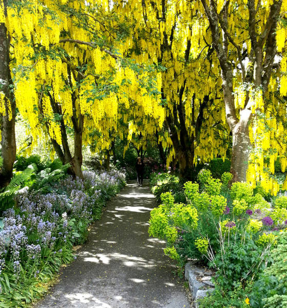 Photograph - Laburnum Golden Chain Tree by Nikki Dalton