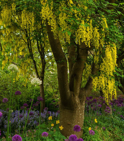Photograph - Laburnum Tree In Bloom - Nature Art by Jordan Blackstone