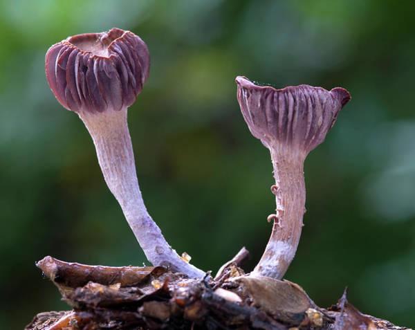 Saprophytic Wall Art - Photograph - Laccaria Amethystea Fungi by Nigel Downer