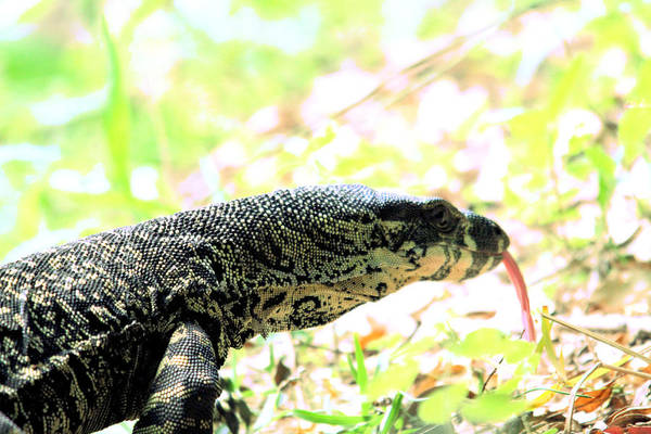 Photograph - Lace Monitor Profile by David Rich
