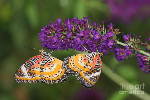 Wall Art - Photograph - Lacewing Butterfly  Duet by Ruth Jolly