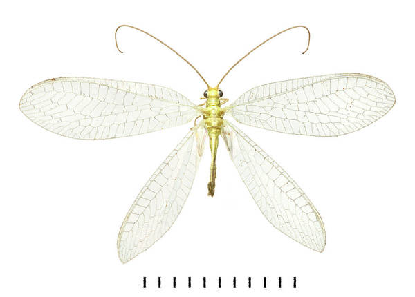 Lacewing Art Print by Natural History Museum, London