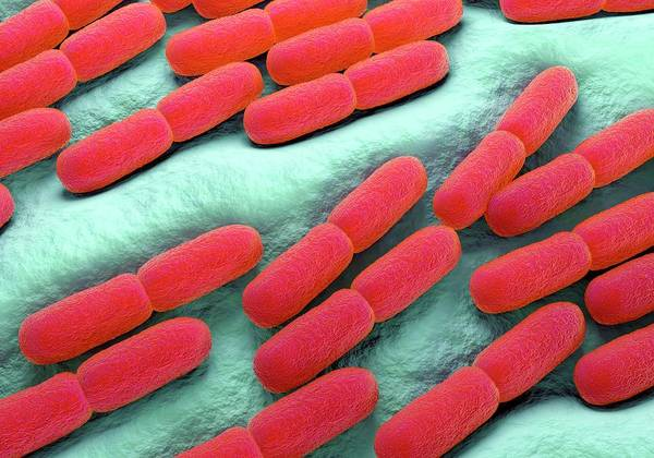 Biological Photograph - Lactobacillus Bacteria by Science Artwork