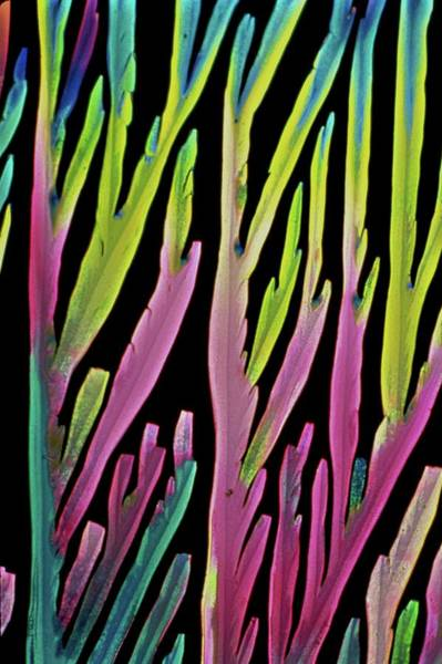 Wall Art - Photograph - Lactose And Lactic Acid Crystals by Dennis Kunkel Microscopy/science Photo Library
