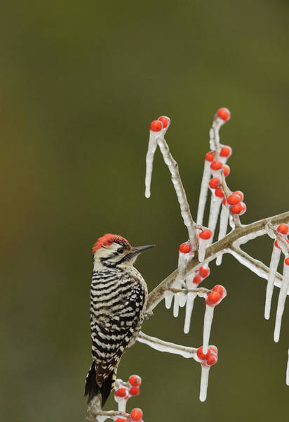 Wall Art - Photograph - Ladder-backed Woodpecker Perched On Icy by Rolf Nussbaumer