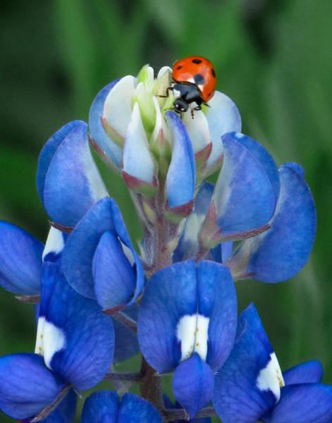 Lady Bug Wall Art - Photograph - Lady Bug And Bluebonnet by David and Carol Kelly