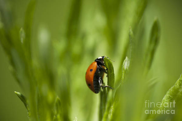 Lady Bug Wall Art - Photograph - Lady Bug by Michael Ver Sprill