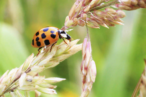 Lady Bug Wall Art - Photograph - Lady Bug On A Warm Summer Day by Andrew Pacheco