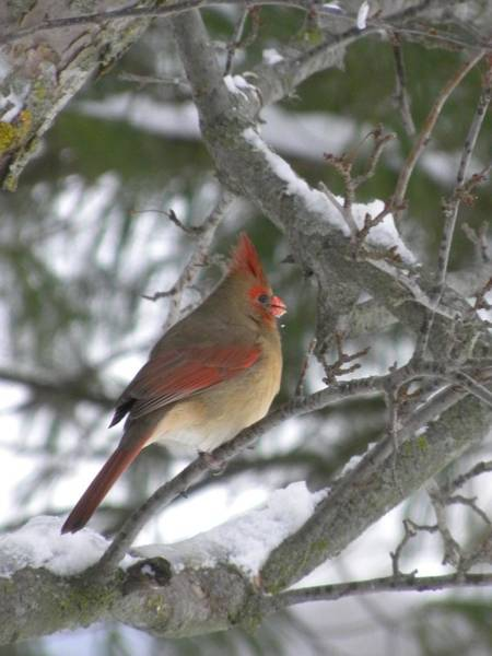 Photograph - Lady Cardinal by Peggy  McDonald
