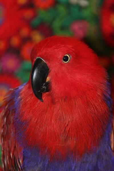 Eclectus Parrots Photograph - Lady In Red - Portrait Of Eclectus Parrot Victoria by Andrea Lazar