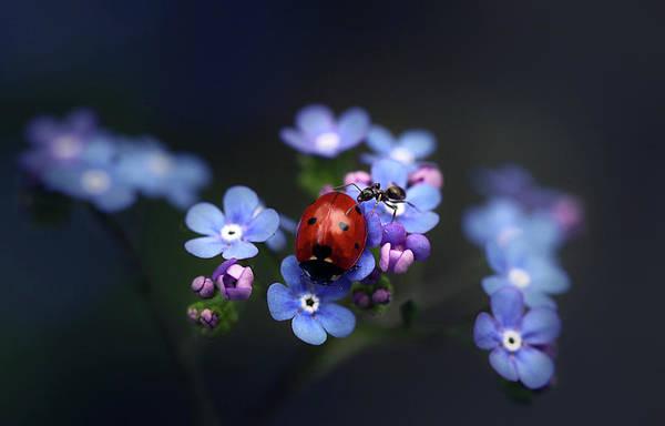 Insect Photograph - Ladybird And Ant by Ellen Van Deelen