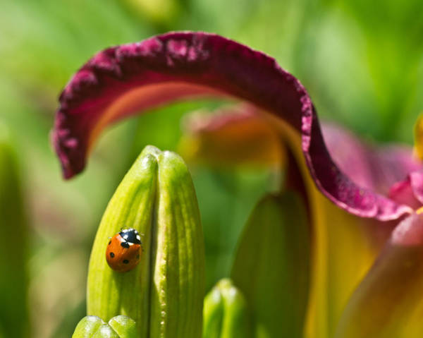 Passionate Photograph - Ladybird Beetle Cuddled By Lilly Blossom 3 by Douglas Barnett