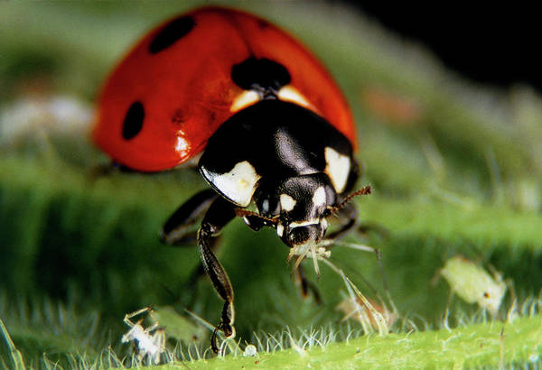 Biological Pest Control Photograph - Ladybird Eating An Aphid On A Stinging Nettle. by Dr Jeremy Burgess/science Photo Library