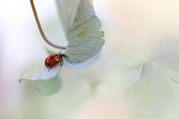 Wall Art - Photograph - Ladybird On Blue-green Hydrangea by Ellen Van Deelen
