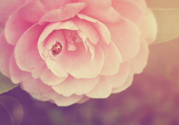Randle Photograph - Ladybird On Camellia by Photo - Lyn Randle