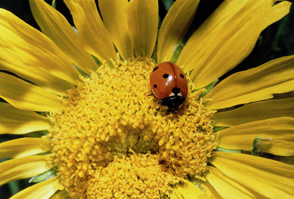 Pollination Photograph - Ladybird Pollinating A Sunflower by William Ervin/science Photo Library