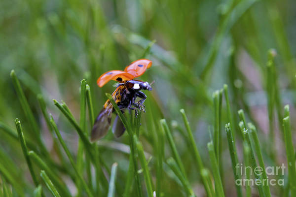 Photograph - Ladybird Take-off by Donna L Munro