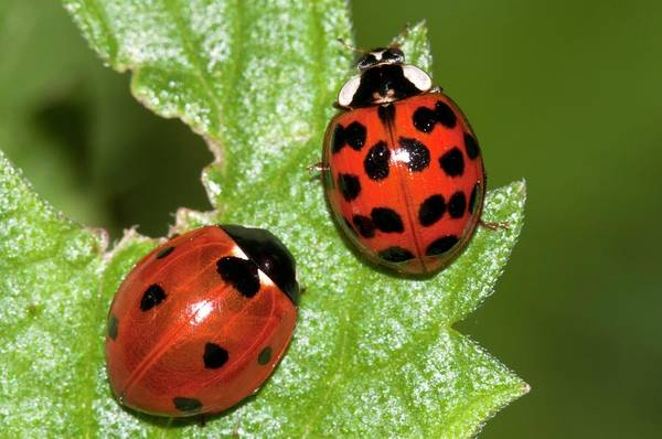 Introduced Species Photograph - Ladybirds by Dr. John Brackenbury/science Photo Library