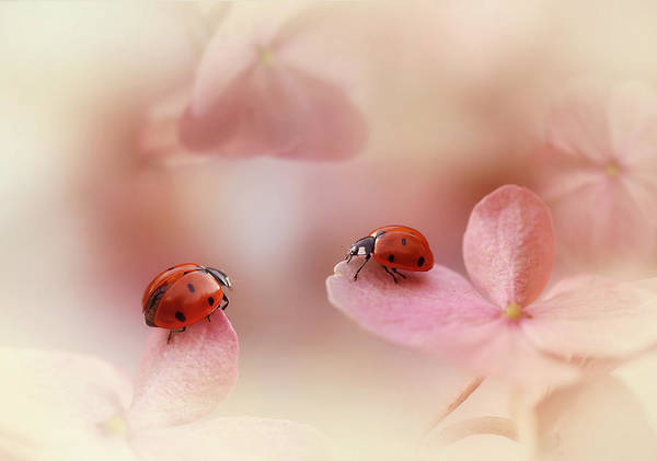 Wall Art - Photograph - Ladybirds On Pink Hydrangea. by Ellen Van Deelen