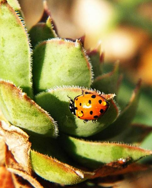 Ladybird Wall Art - Photograph - Ladybug And Chick by Chris Berry