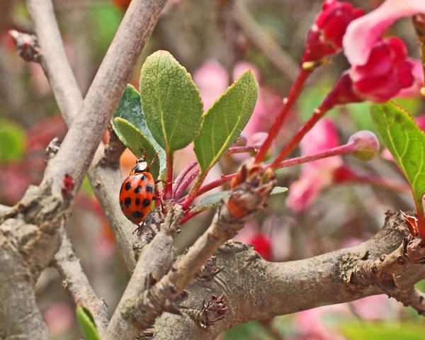 Photograph - Ladybug And Crabapple by Rona Black
