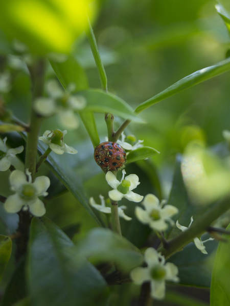 Photograph - Ladybug And Holly Flowers by MM Anderson