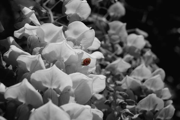 Photograph - Ladybug In Color On Wisteria Blossoms by MM Anderson