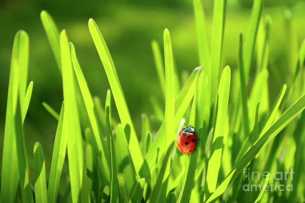Green Grass Photograph - Ladybug In Grass by Carlos Caetano