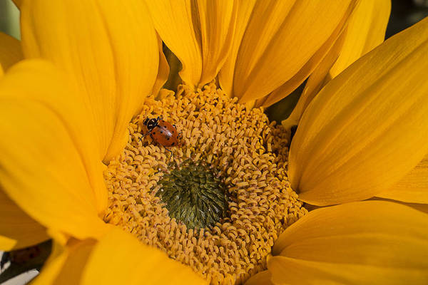 Lady Bug Wall Art - Photograph - Ladybug In Sunflower by Garry Gay