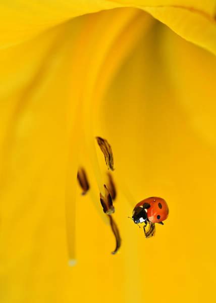 Ladybird Wall Art - Photograph - Ladybug Inside Yellow Lillium Flower by Jaroslaw Blaminsky
