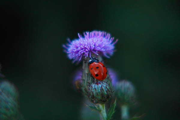 Wall Art - Photograph - Ladybug by Jeff Swan
