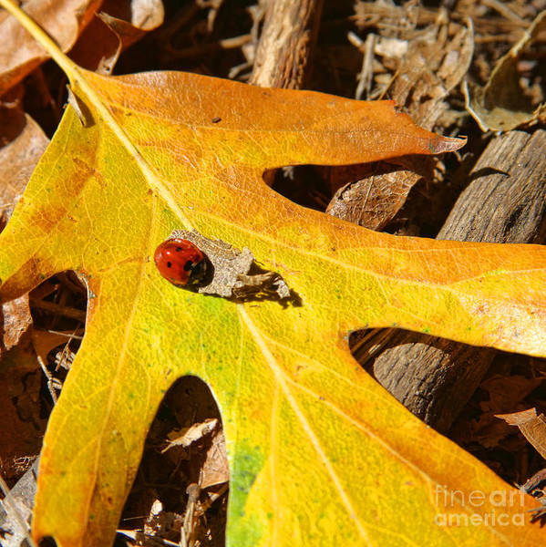 Photograph - Ladybug Leafing By Diana Sainz by Diana Raquel Sainz