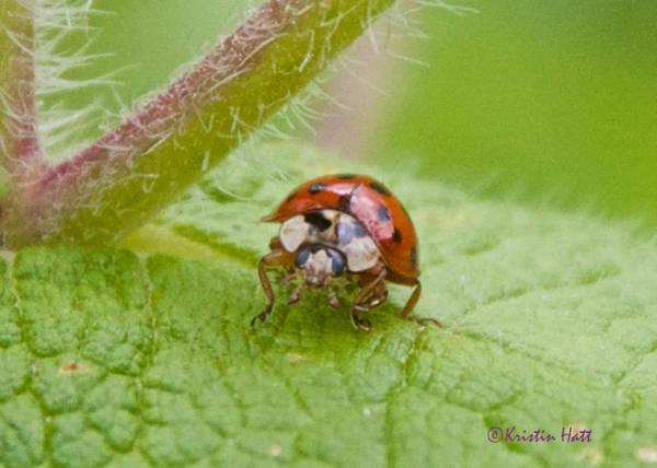 Ladybug On Boneset Leaf Art Print