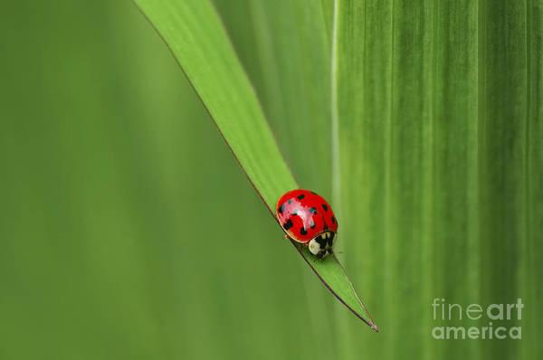Ladybird Wall Art - Photograph - Ladybug On Leaf by Sharon Talson