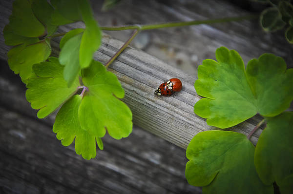 Wall Art - Photograph - Ladybugs Mating by Aged Pixel