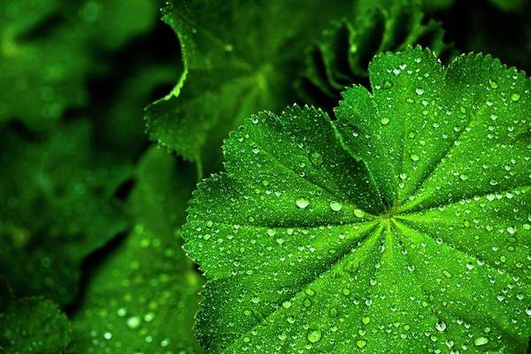 Wall Art - Photograph - Lady's Mantle (alchemilla Mollis) by Ian Gowland/science Photo Library